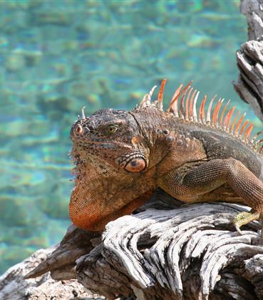 Iguana by the beach