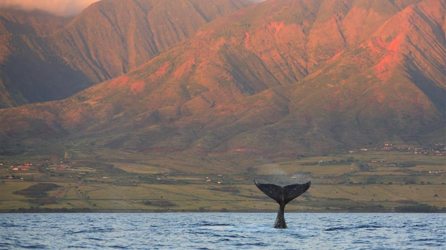 North Pacific Humpback Whale tail sinking back in the water in Maui, Hawaii.