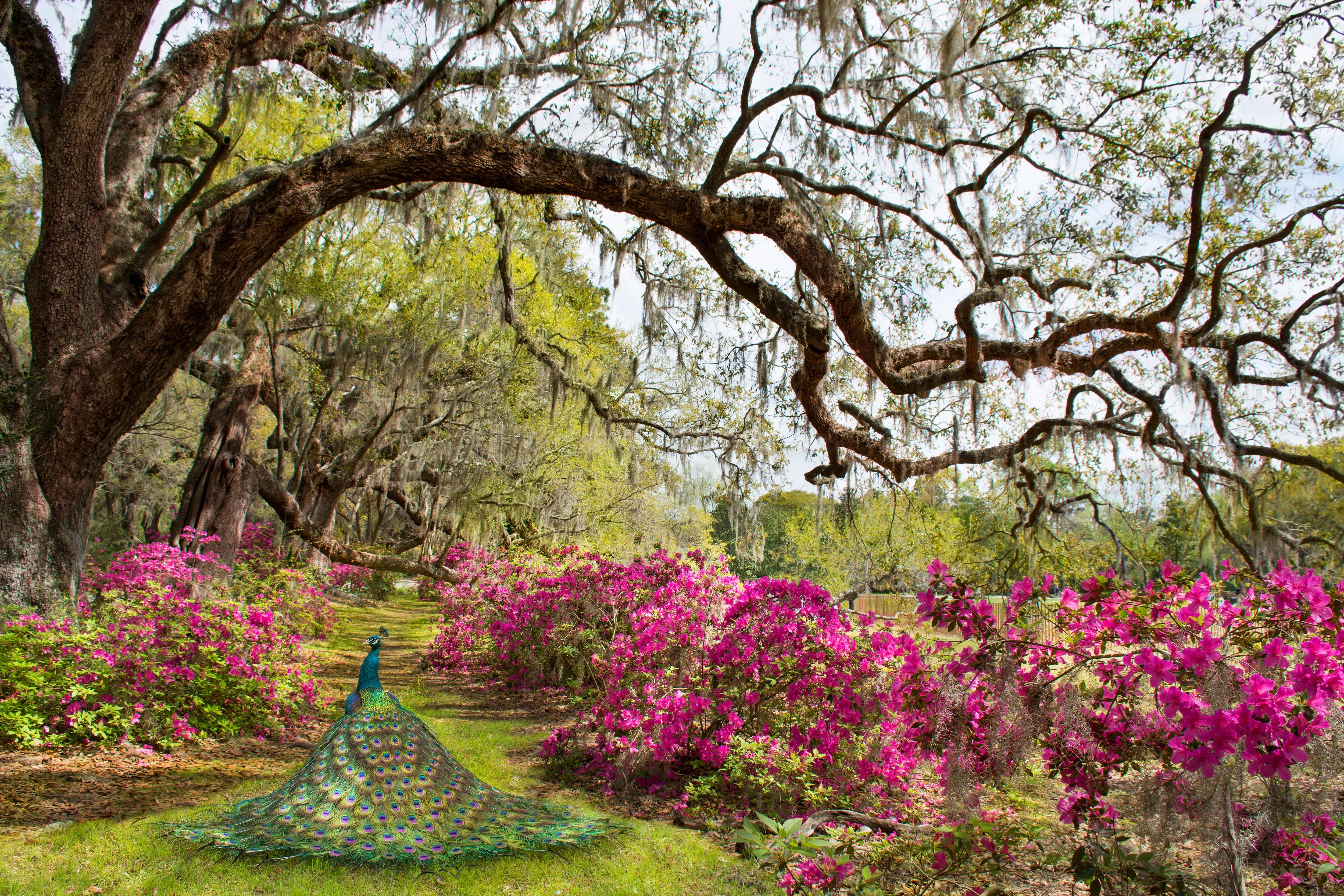 Peacock walking through a garden in Charleston, South Carolina.