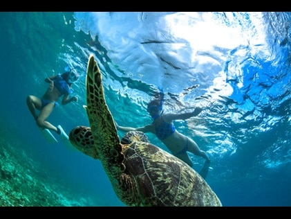 Snorkelers swimming with sea turtles.