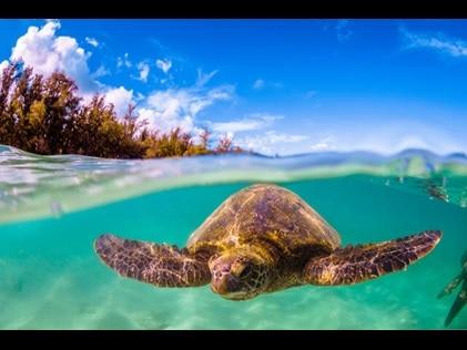 Underwater shot of a sea turtle in Hawaii.